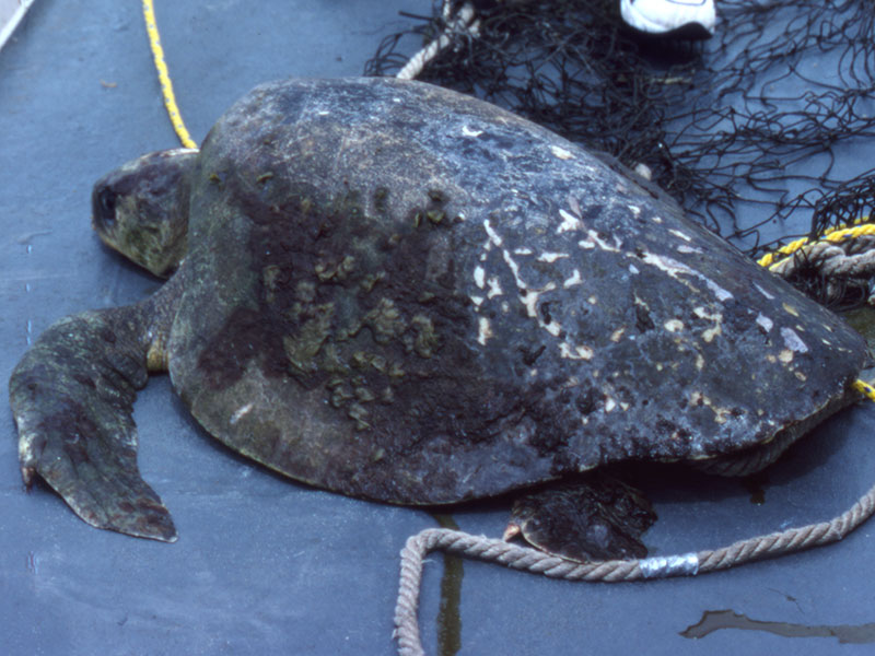 Health assessment of male olive Ridley turtle in the eastern tropical Pacific Ocean.